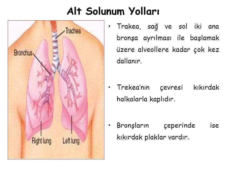 Alt Solunum Yolları Trakea, sağ ve sol iki ana bronşa ayrılması ile başlamak üzere alveollere kadar çok kez dallanır. Trekea'nın çevresi kıkırdak halk