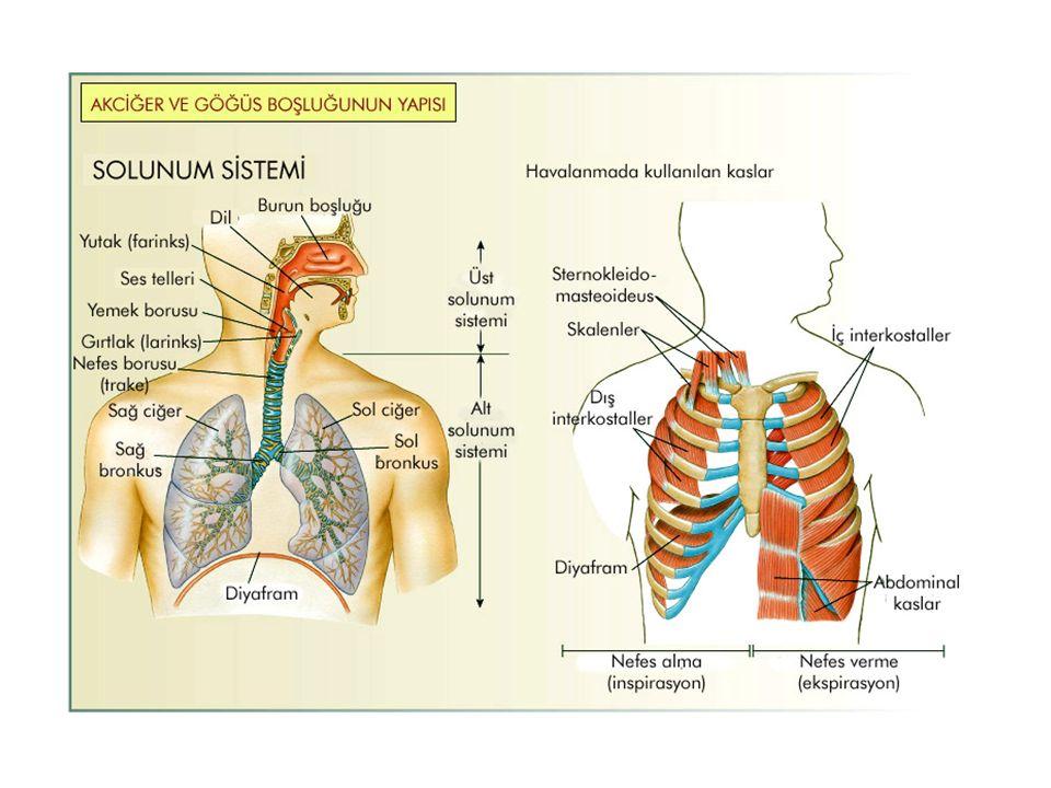 Nefes alma (inspirasyon) Nefes verme (ekspirasyon) İnspirasyon ve ekspirasyonda görev alan yapılar: -Diyafram -Göğüs kafesi: Kaburgalar ve kaslar -Plevra Zarı