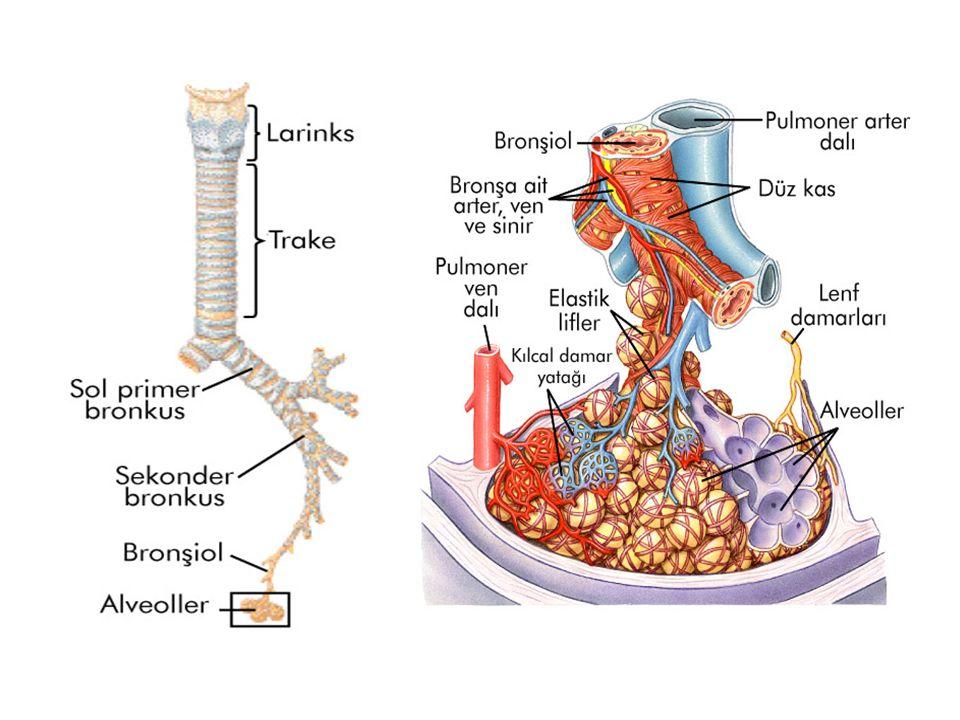 Alveolar Ventilasyon: Akcigerlerde gaz degisimin gerçeklestigi bölgelere yeni havanın ulasma hızına alveoler ventilasyon denir.
