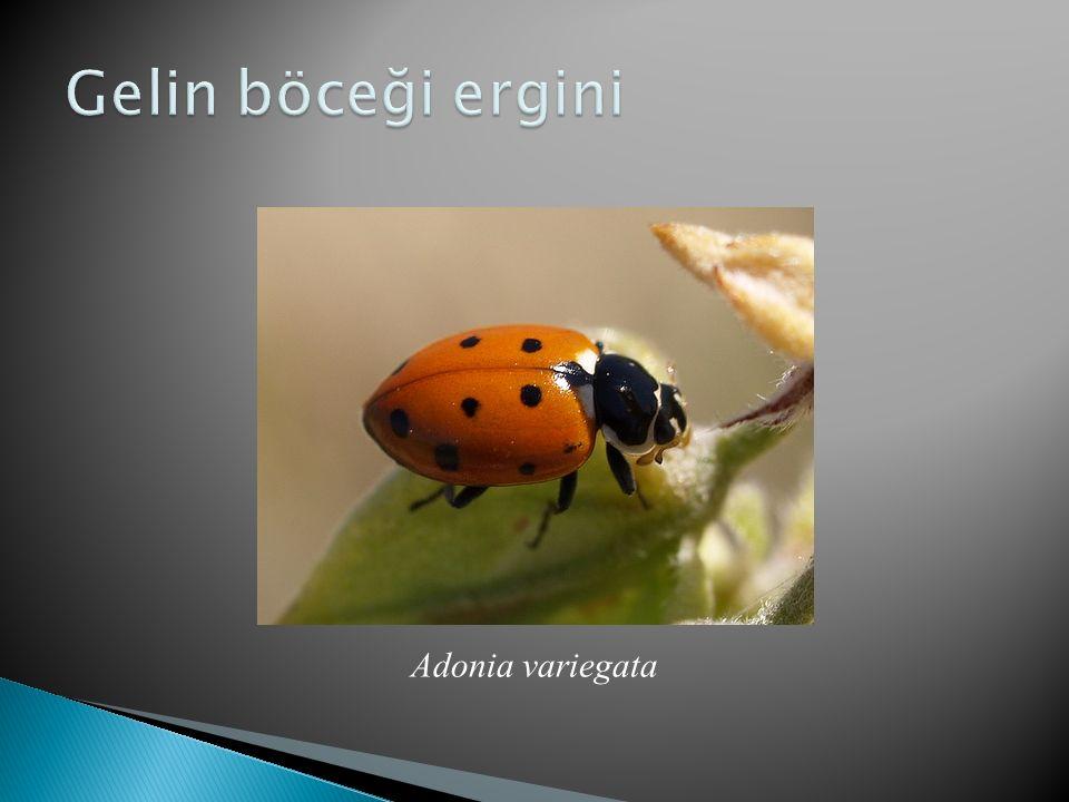 Adonia variegata