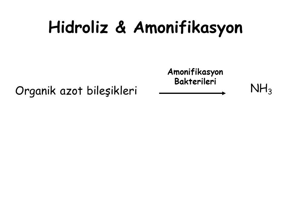 Hidroliz & Amonifikasyon Organik azot bileşikleri NH 3 Amonifikasyon Bakterileri