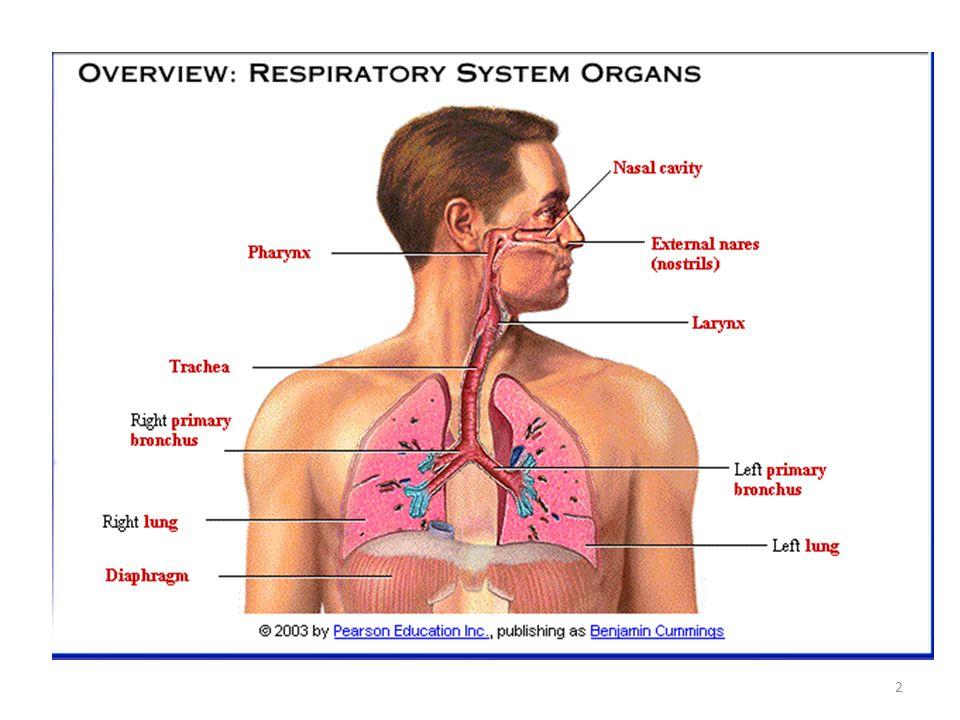 Solunumun amacı, dokulara oksijen sağlamak ve karbon dioksidi uzaklaştırmaktır.