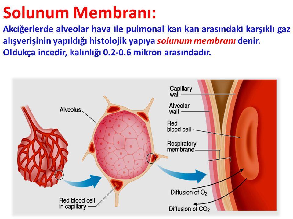 20 Solunum Membranı: Akciğerlerde alveolar hava ile pulmonal kan kan arasındaki karşıklı gaz alışverişinin yapıldığı histolojik yapıya solunum membranı denir.