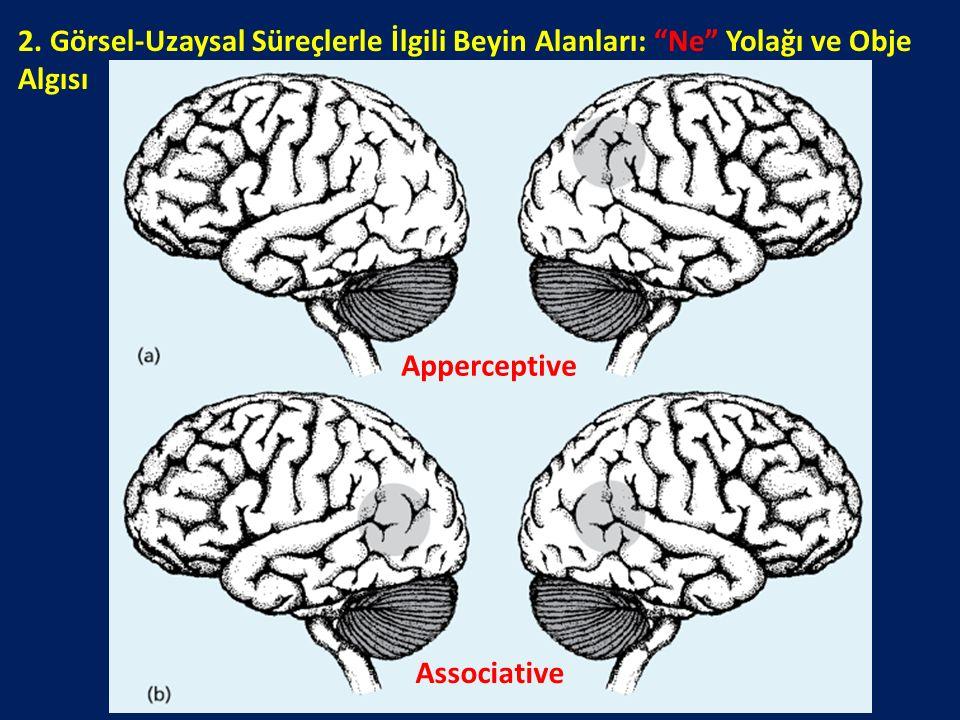 """2. Görsel-Uzaysal Süreçlerle İlgili Beyin Alanları: """"Ne"""" Yolağı ve Obje Algısı Apperceptive Associative"""