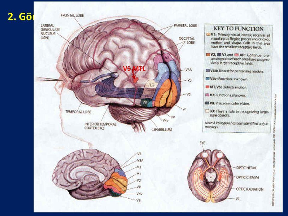 """2. Görsel-Uzaysal Süreçlerle İlgili Beyin Alanları: """"Nerede"""" V5 MTL"""