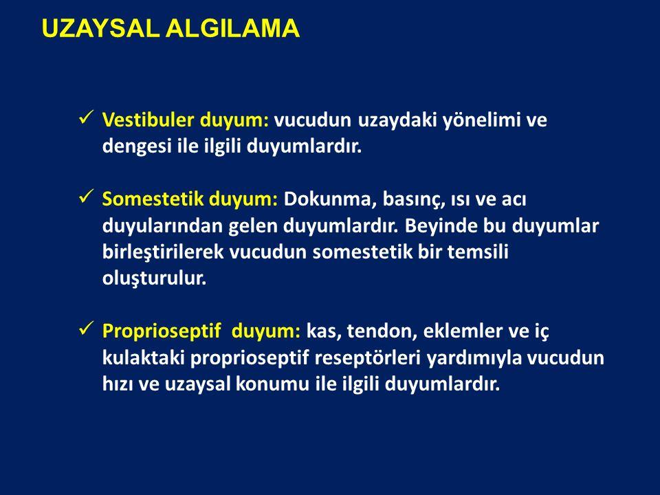 UZAYSAL ALGILAMA Vestibuler duyum: vucudun uzaydaki yönelimi ve dengesi ile ilgili duyumlardır. Somestetik duyum: Dokunma, basınç, ısı ve acı duyuları