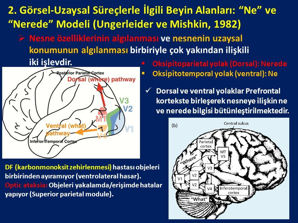 """2. Görsel-Uzaysal Süreçlerle İlgili Beyin Alanları: """"Ne"""" ve """"Nerede"""" Modeli (Ungerleider ve Mishkin, 1982)  Nesne özelliklerinin algılanması ve nesne"""