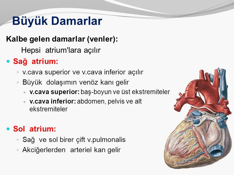 Büyük Damarlar Kalbe gelen damarlar (venler): Hepsi atrium'lara açılır Sağ atrium: v.cava superior ve v.cava inferior açılır Büyük dolaşımın venöz kan
