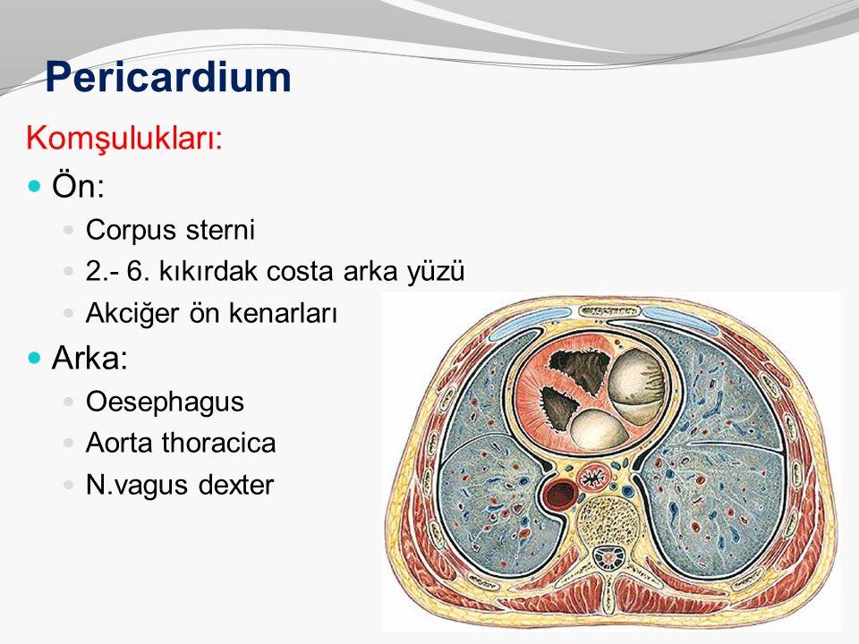 Pericardium Komşulukları: Ön: Corpus sterni 2.- 6. kıkırdak costa arka yüzü Akciğer ön kenarları Arka: Oesephagus Aorta thoracica N.vagus dexter