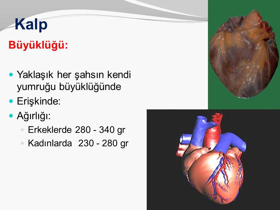 Kalp Büyüklüğü: Yaklaşık her şahsın kendi yumruğu büyüklüğünde Erişkinde: Ağırlığı: Erkeklerde 280 - 340 gr Kadınlarda 230 - 280 gr