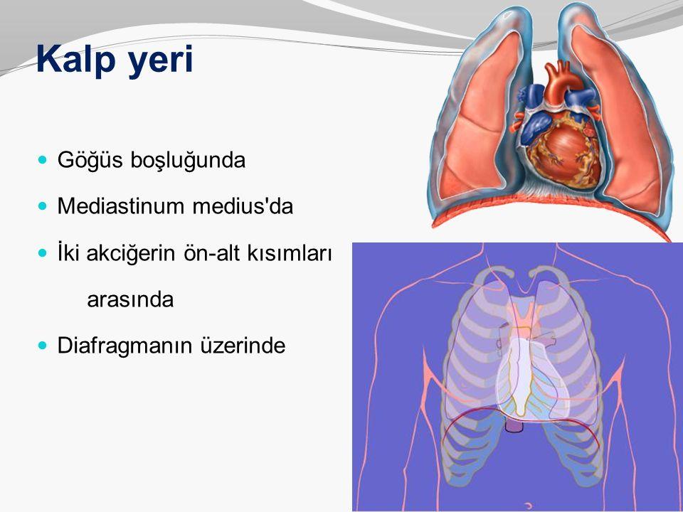 Kalp yeri Göğüs boşluğunda Mediastinum medius'da İki akciğerin ön-alt kısımları arasında Diafragmanın üzerinde