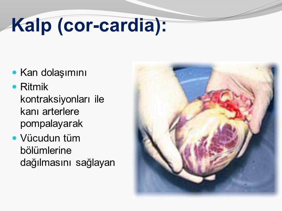 Kalp (cor-cardia): Sıkılmış bir yumruktan biraz daha büyük olan kalp, kendiliğinden, birlikte uyum içinde, vücudun tüm bölümlerine kanı göndermeyi sürdürerek çalışan çift kas pompasıdır.