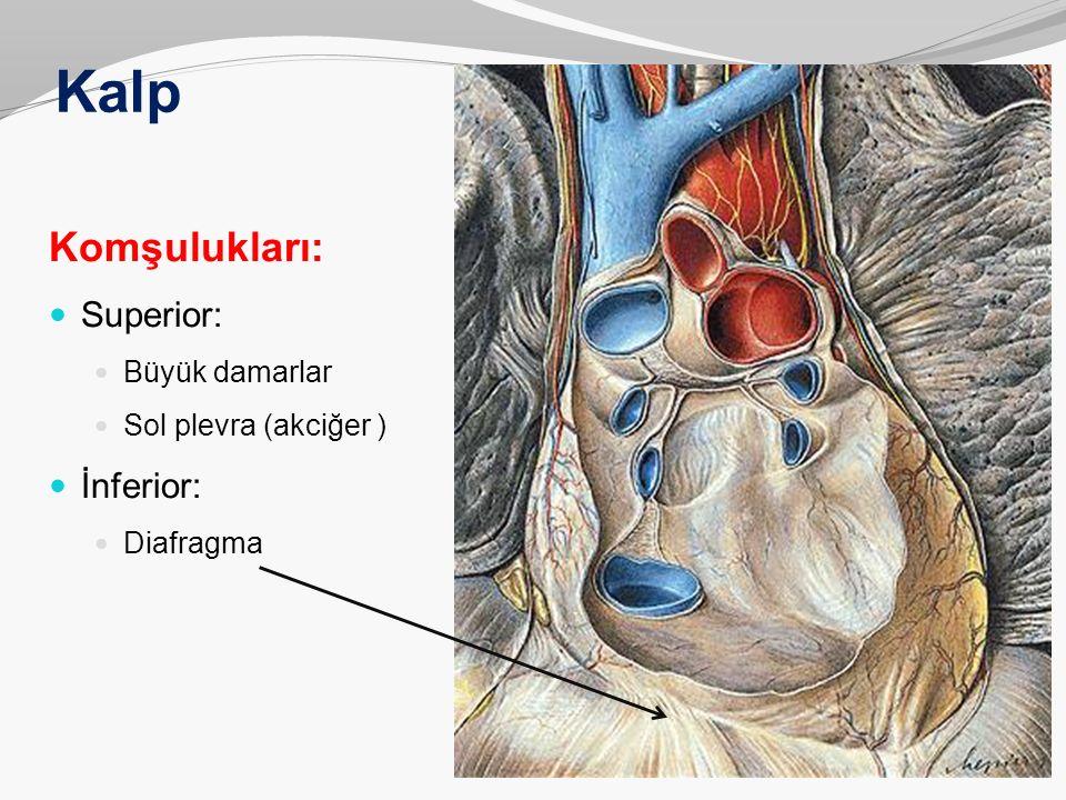Kalp Komşulukları: Superior: Büyük damarlar Sol plevra (akciğer ) İnferior: Diafragma