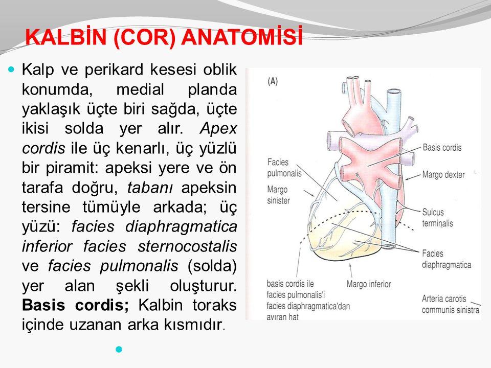 KALBİN (COR) ANATOMİSİ Kalp ve perikard kesesi oblik konumda, medial planda yaklaşık üçte biri sağda, üçte ikisi solda yer alır. Apex cordis ile üç ke
