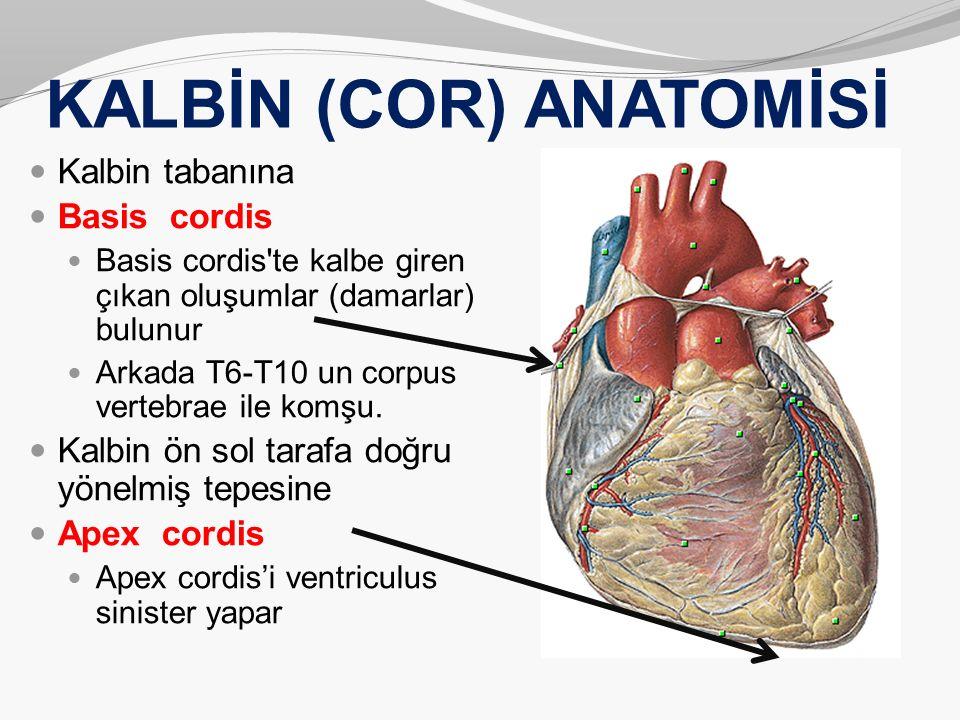 KALBİN (COR) ANATOMİSİ Kalbin tabanına Basis cordis Basis cordis'te kalbe giren çıkan oluşumlar (damarlar) bulunur Arkada T6-T10 un corpus vertebrae i