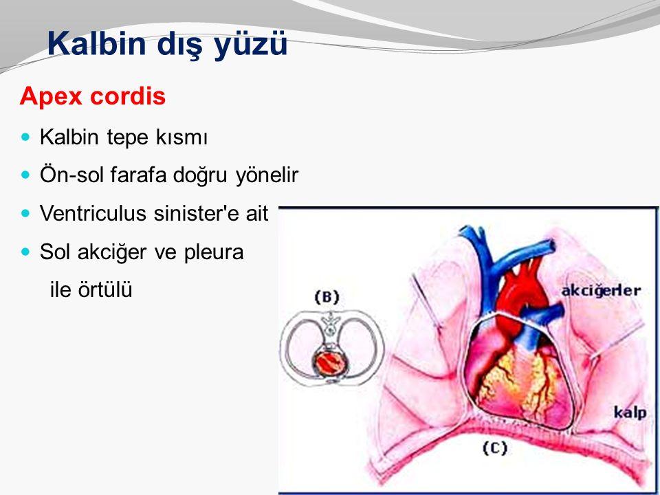 Kalbin dış yüzü Apex cordis Kalbin tepe kısmı Ön-sol farafa doğru yönelir Ventriculus sinister'e ait Sol akciğer ve pleura ile örtülü