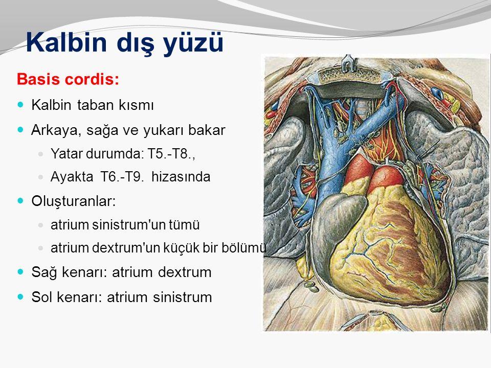 Kalbin dış yüzü Basis cordis: Kalbin taban kısmı Arkaya, sağa ve yukarı bakar Yatar durumda: T5.-T8., Ayakta T6.-T9. hizasında Oluşturanlar: atrium si