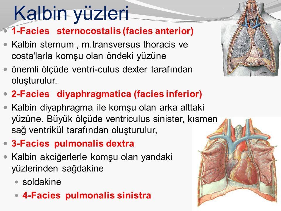 Kalbin yüzleri 1-Facies sternocostalis (facies anterior) Kalbin sternum, m.transversus thoracis ve costa'larla komşu olan öndeki yüzüne önemli ölçüde