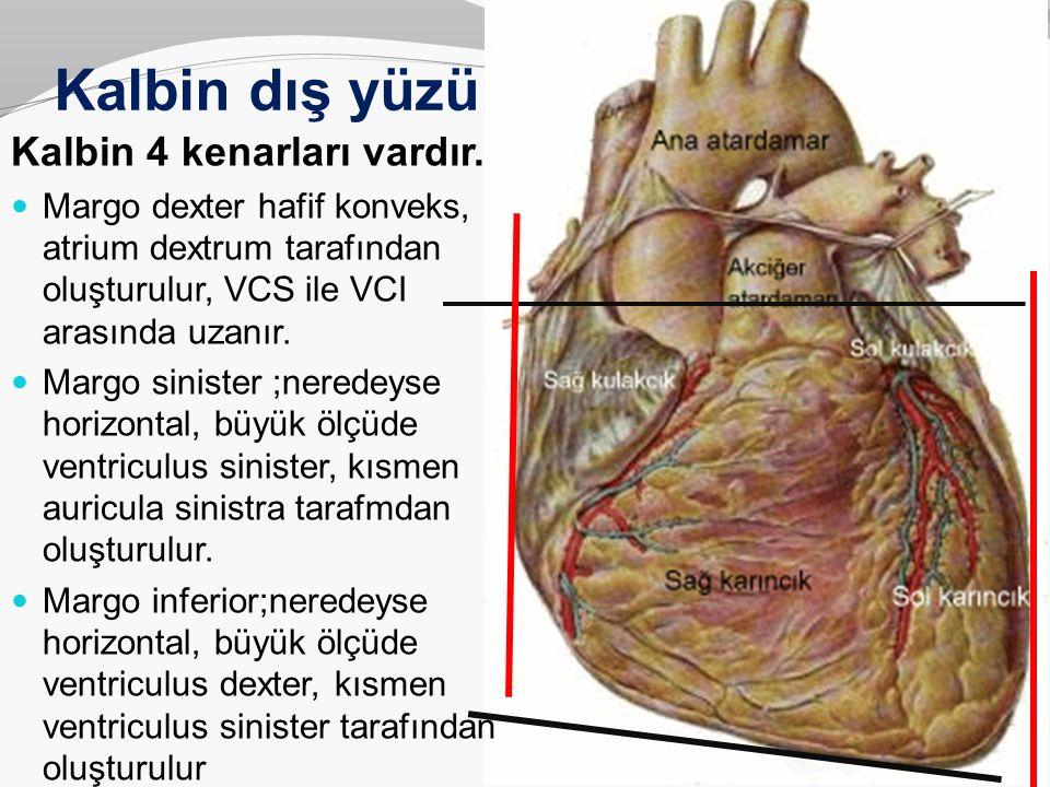 Kalbin dış yüzü Kalbin 4 kenarları vardır. Margo dexter hafif konveks, atrium dextrum tarafından oluşturulur, VCS ile VCI arasında uzanır. Margo sinis