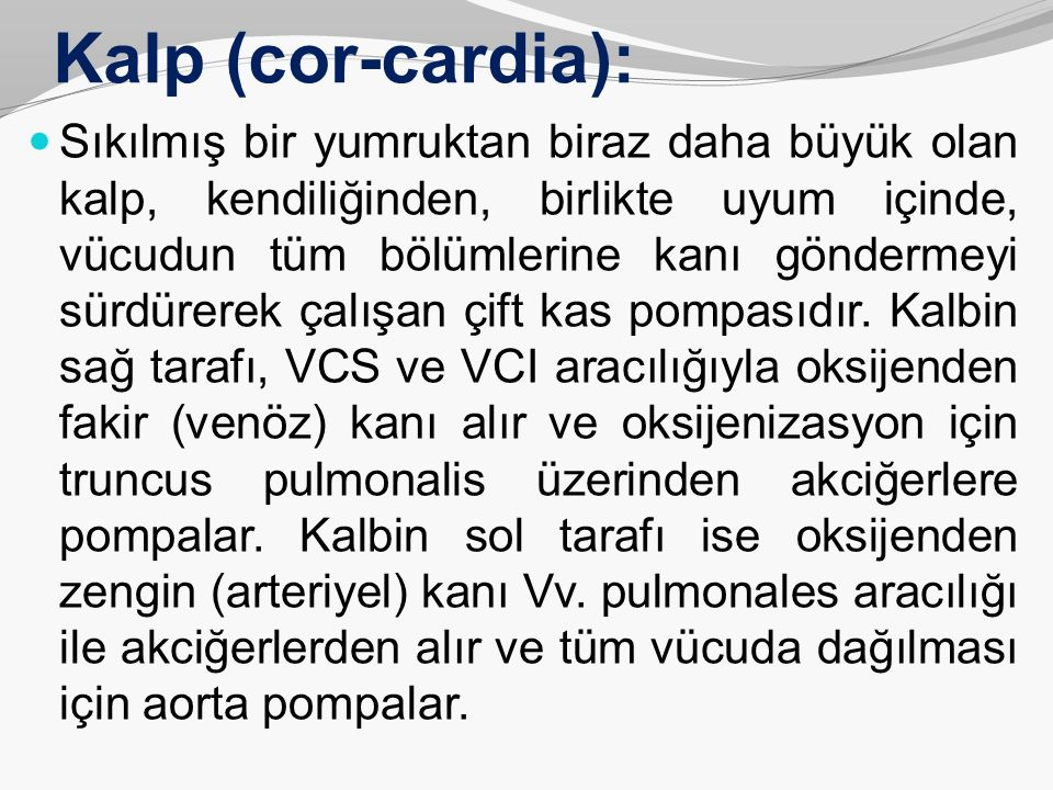 Kalp (cor-cardia): Sıkılmış bir yumruktan biraz daha büyük olan kalp, kendiliğinden, birlikte uyum içinde, vücudun tüm bölümlerine kanı göndermeyi sür