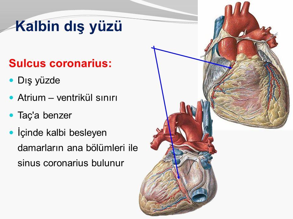 Kalbin dış yüzü Sulcus coronarius: Dış yüzde Atrium – ventrikül sınırı Taç'a benzer İçinde kalbi besleyen damarların ana bölümleri ile sinus coronariu