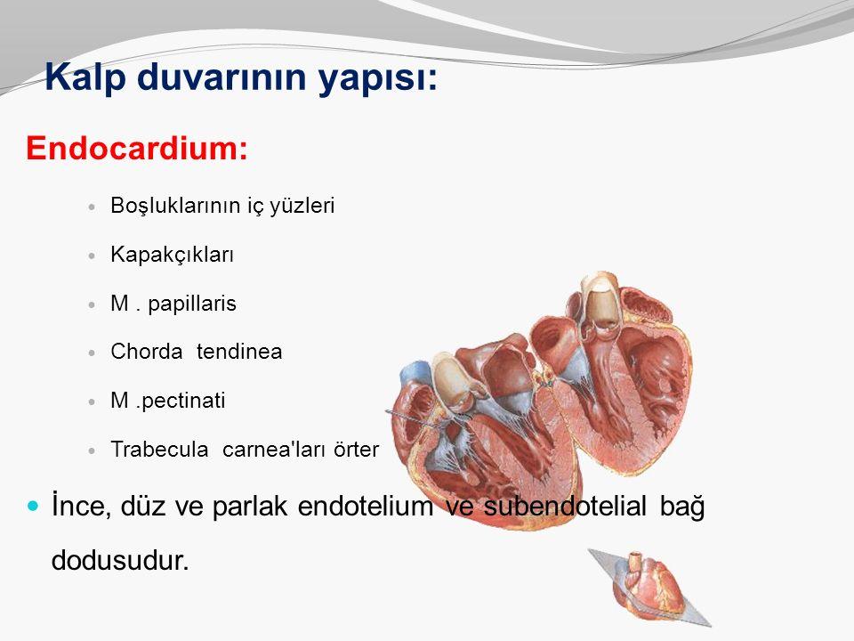 Kalp duvarının yapısı: Endocardium: Boşluklarının iç yüzleri Kapakçıkları M. papillaris Chorda tendinea M.pectinati Trabecula carnea'ları örter İnce,