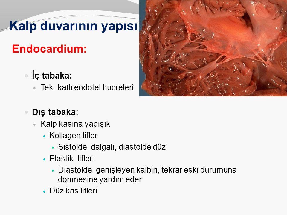 Kalp duvarının yapısı: Endocardium: İç tabaka: Tek katlı endotel hücreleri Dış tabaka: Kalp kasına yapışık Kollagen lifler Sistolde dalgalı, diastolde