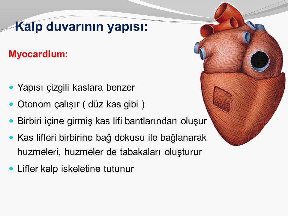 Kalp duvarının yapısı: Myocardium: Yapısı çizgili kaslara benzer Otonom çalışır ( düz kas gibi ) Birbiri içine girmiş kas lifi bantlarından oluşur Kas