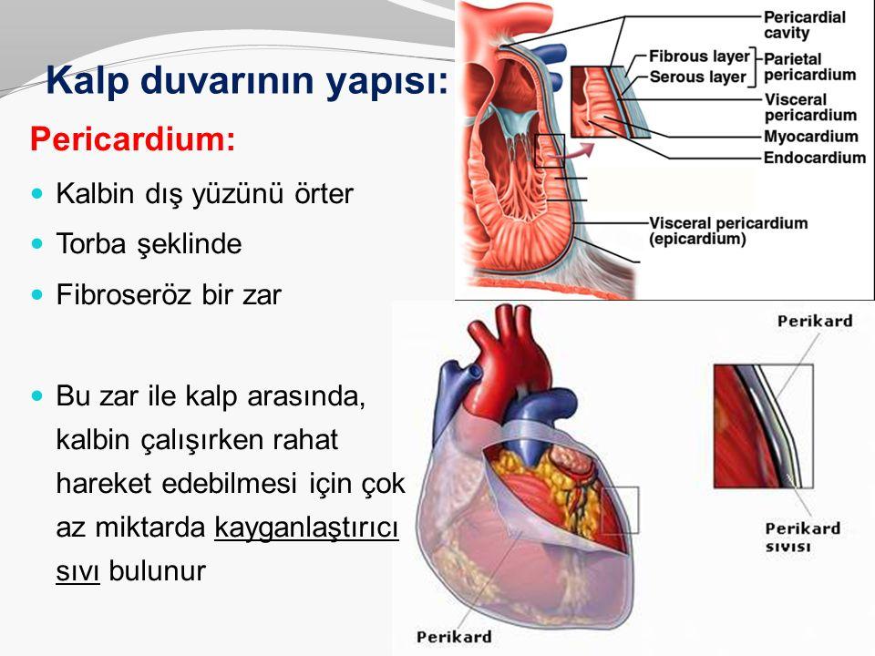 Kalp duvarının yapısı: Pericardium: Kalbin dış yüzünü örter Torba şeklinde Fibroseröz bir zar Bu zar ile kalp arasında, kalbin çalışırken rahat hareke