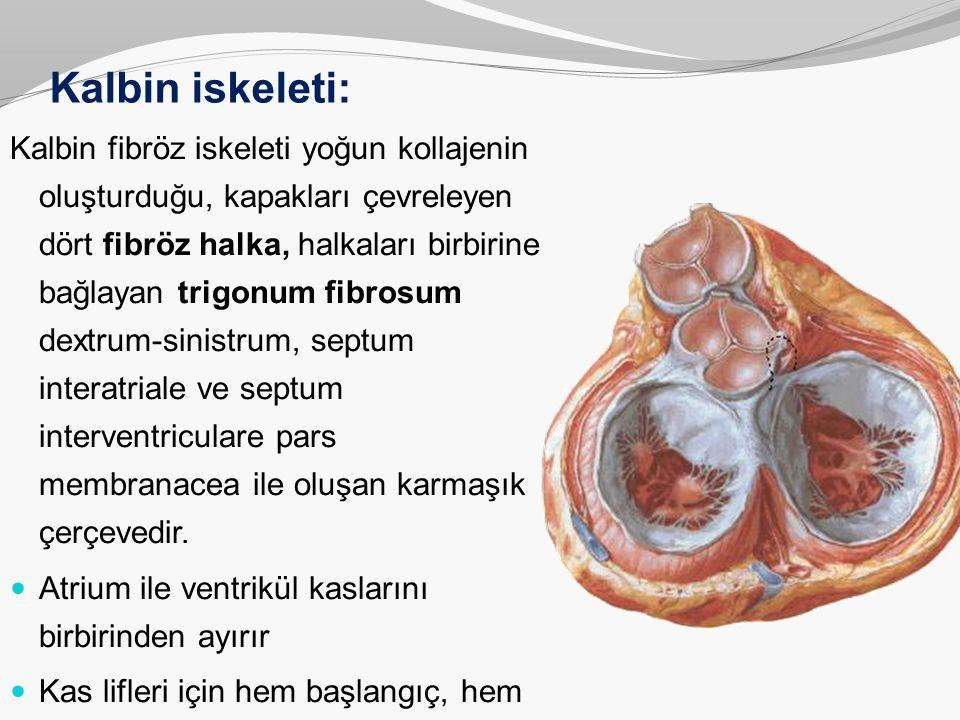 Kalbin iskeleti: Kalbin fibröz iskeleti yoğun kollajenin oluşturduğu, kapakları çevreleyen dört fibröz halka, halkaları birbirine bağlayan trigonum fi