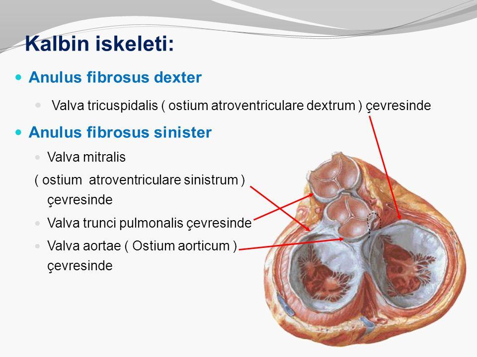Kalbin iskeleti: Anulus fibrosus dexter Valva tricuspidalis ( ostium atroventriculare dextrum ) çevresinde Anulus fibrosus sinister Valva mitralis ( o