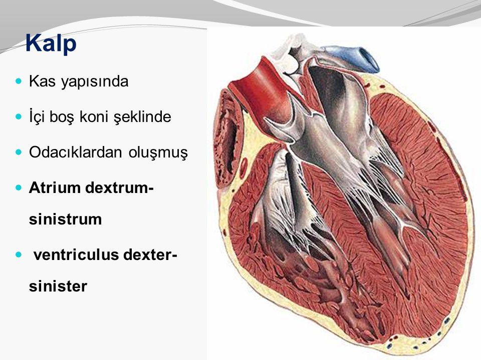 Kalp duvarının yapısı: Myocardium: Yapısı çizgili kaslara benzer Otonom çalışır ( düz kas gibi ) Birbiri içine girmiş kas lifi bantlarından oluşur Kas lifleri birbirine bağ dokusu ile bağlanarak huzmeleri, huzmeler de tabakaları oluşturur Lifler kalp iskeletine tutunur