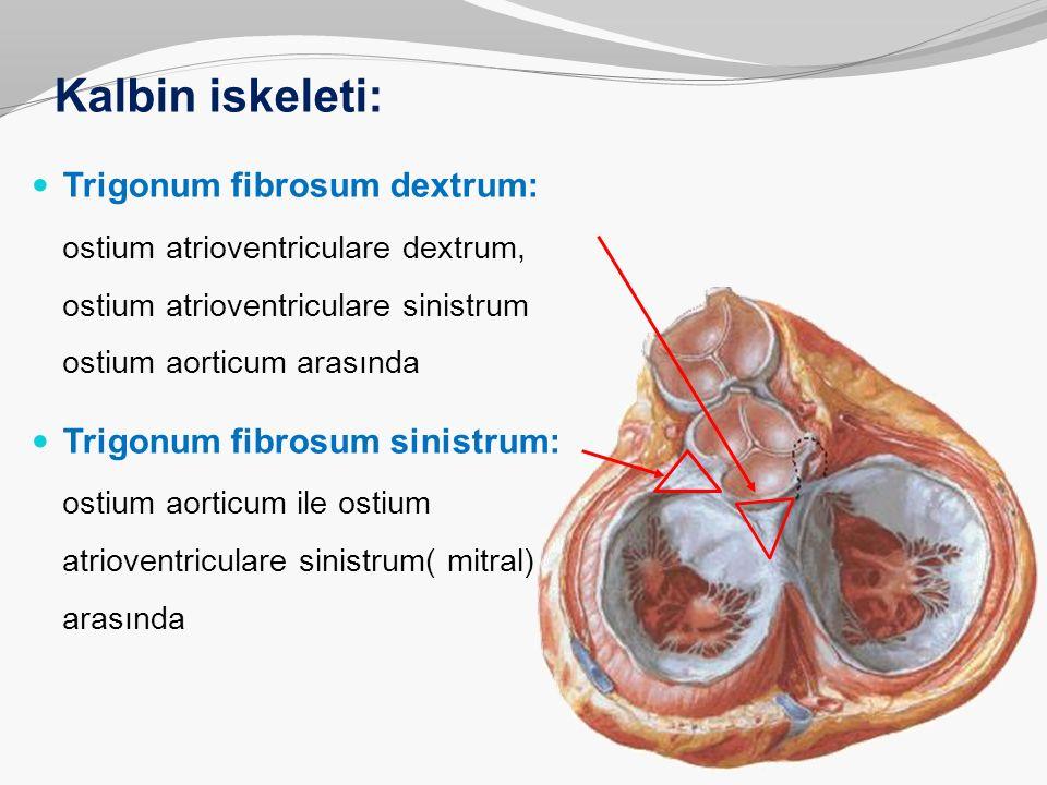 Kalbin iskeleti: Trigonum fibrosum dextrum: ostium atrioventriculare dextrum, ostium atrioventriculare sinistrum ostium aorticum arasında Trigonum fib