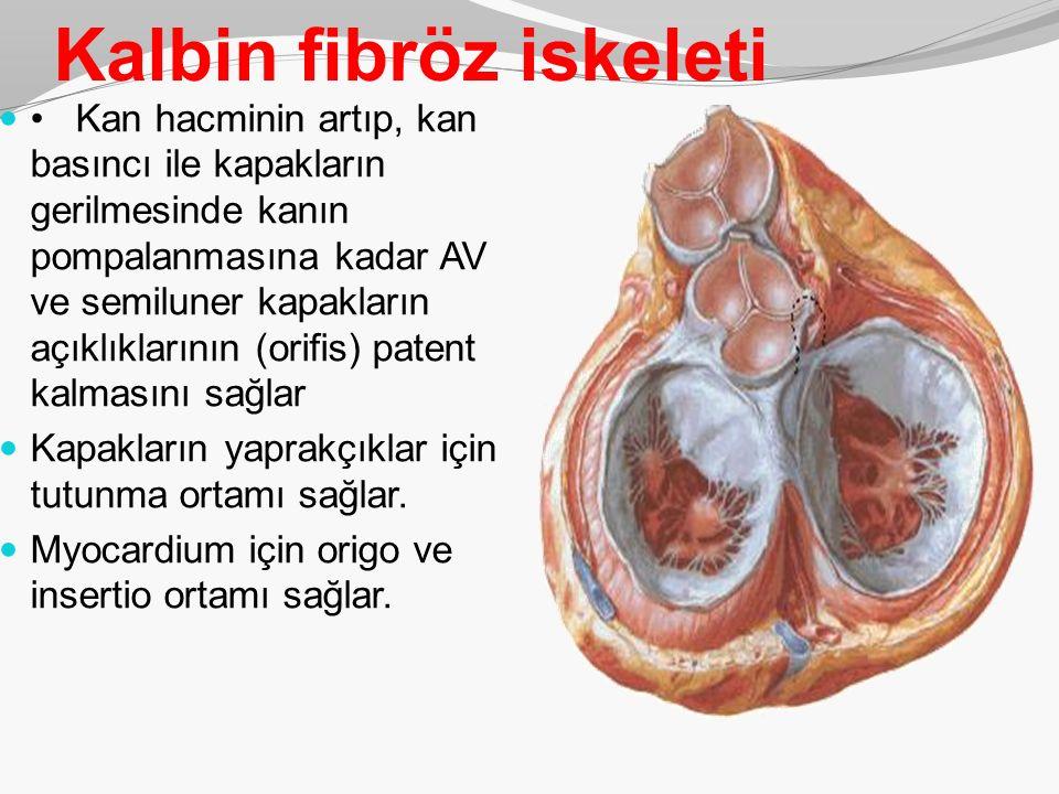 Kalbin fibröz iskeleti Kan hacminin artıp, kan basıncı ile kapakların gerilmesinde kanın pompalanmasına kadar AV ve semiluner kapakların açıklıkların