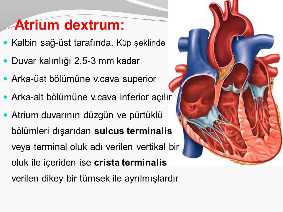Atrium dextrum: Kalbin sağ-üst tarafında. Küp şeklinde Duvar kalınlığı 2,5-3 mm kadar Arka-üst bölümüne v.cava superior Arka-alt bölümüne v.cava infer