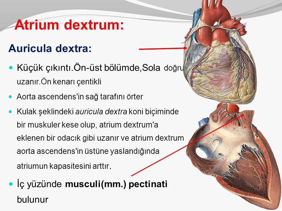 Atrium dextrum: Auricula dextra: Küçük çıkıntı.Ön-üst bölümde,Sola doğru uzanır.Ön kenarı çentikli Aorta ascendens'in sağ tarafını örter Kulak şeklind