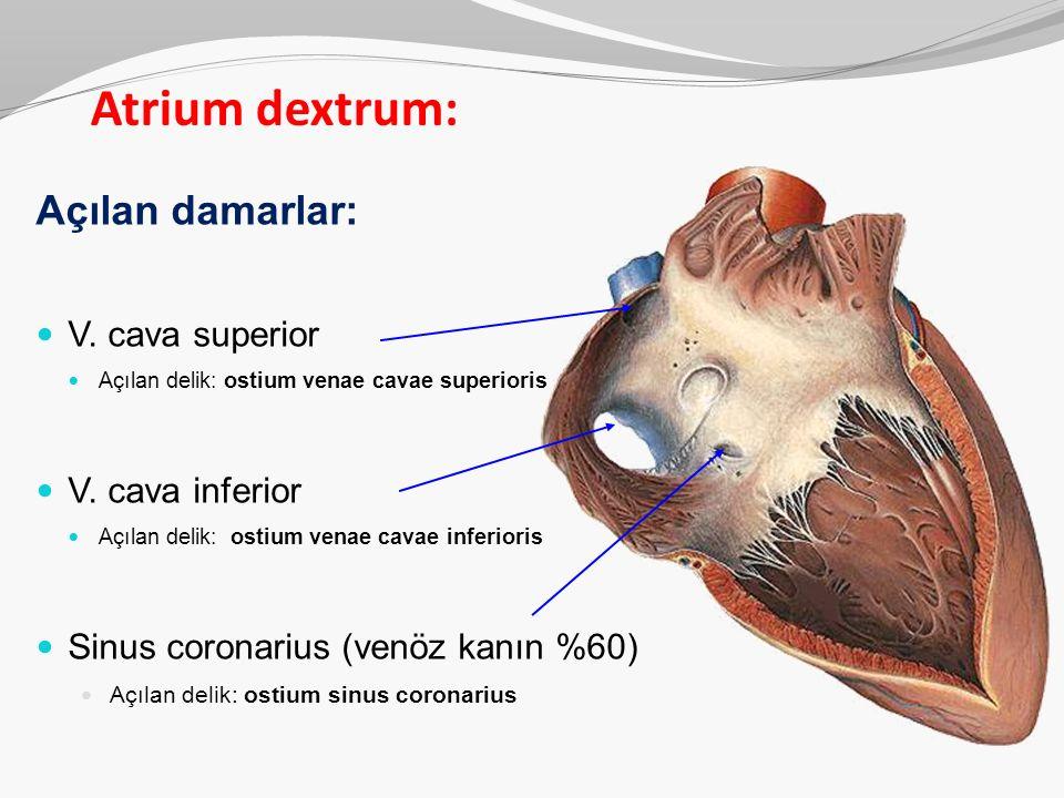 Açılan damarlar: V. cava superior Açılan delik: ostium venae cavae superioris V. cava inferior Açılan delik: ostium venae cavae inferioris Sinus coron