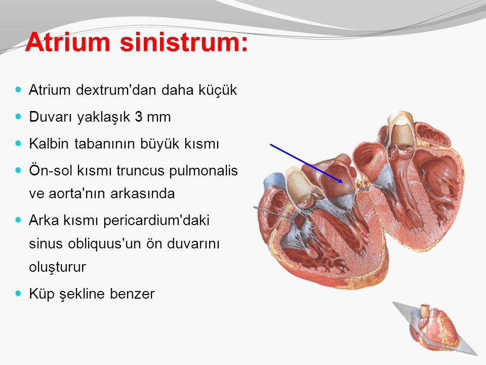 Atrium sinistrum: Atrium dextrum'dan daha küçük Duvarı yaklaşık 3 mm Kalbin tabanının büyük kısmı Ön-sol kısmı truncus pulmonalis ve aorta'nın arkasın