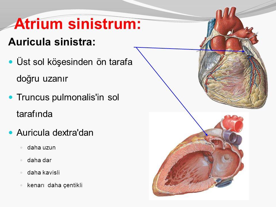 Atrium sinistrum: Auricula sinistra: Üst sol köşesinden ön tarafa doğru uzanır Truncus pulmonalis'in sol tarafında Auricula dextra'dan daha uzun daha