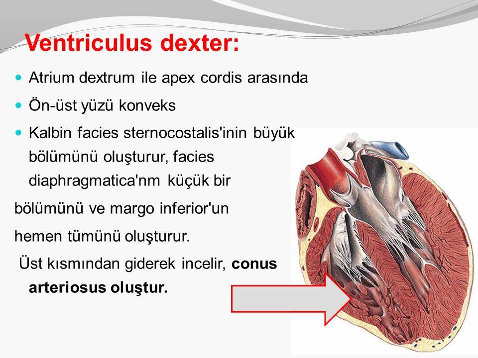 Ventriculus dexter: Atrium dextrum ile apex cordis arasında Ön-üst yüzü konveks Kalbin facies sternocostalis'inin büyük bölümünü oluşturur, facies dia