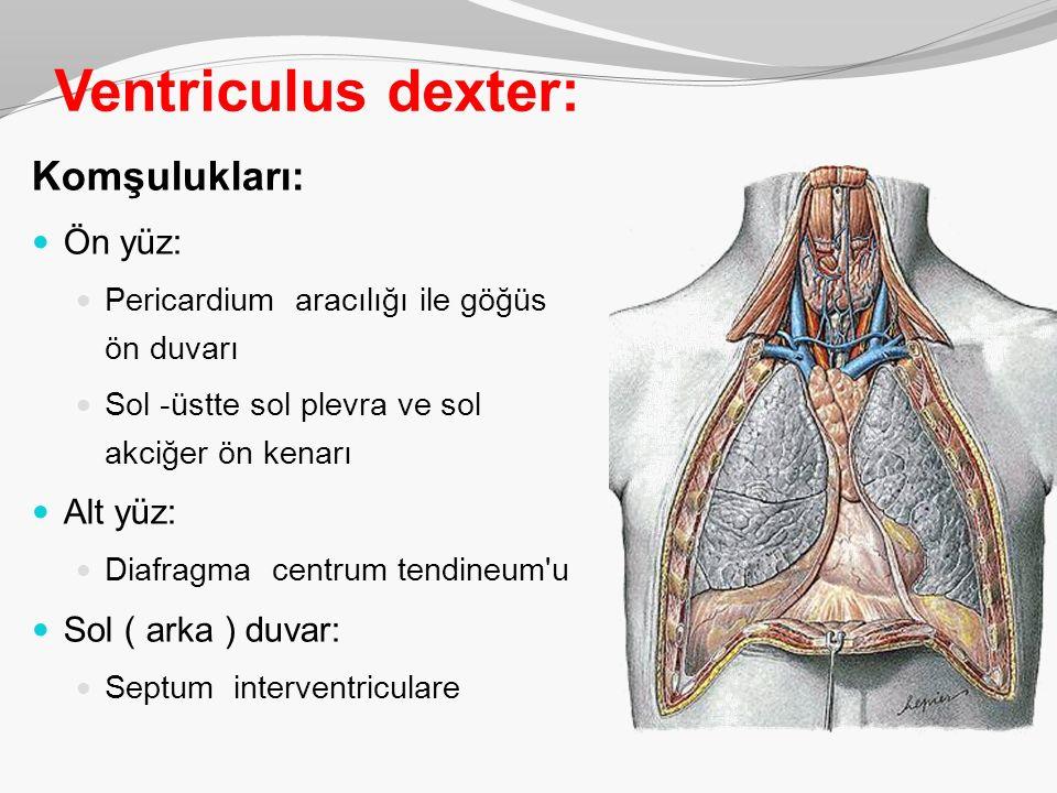 Ventriculus dexter: Komşulukları: Ön yüz: Pericardium aracılığı ile göğüs ön duvarı Sol -üstte sol plevra ve sol akciğer ön kenarı Alt yüz: Diafragma