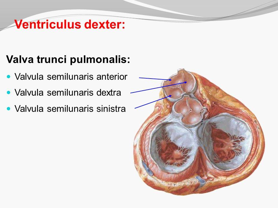 Ventriculus dexter: Valva trunci pulmonalis: Valvula semilunaris anterior Valvula semilunaris dextra Valvula semilunaris sinistra