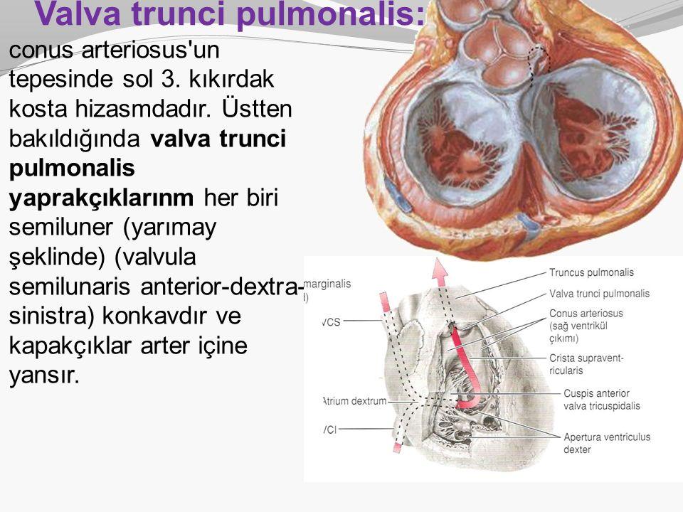 Valva trunci pulmonalis: conus arteriosus'un tepesinde sol 3. kıkırdak kosta hizasmdadır. Üstten bakıldığında valva trunci pulmonalis yaprakçıklarınm
