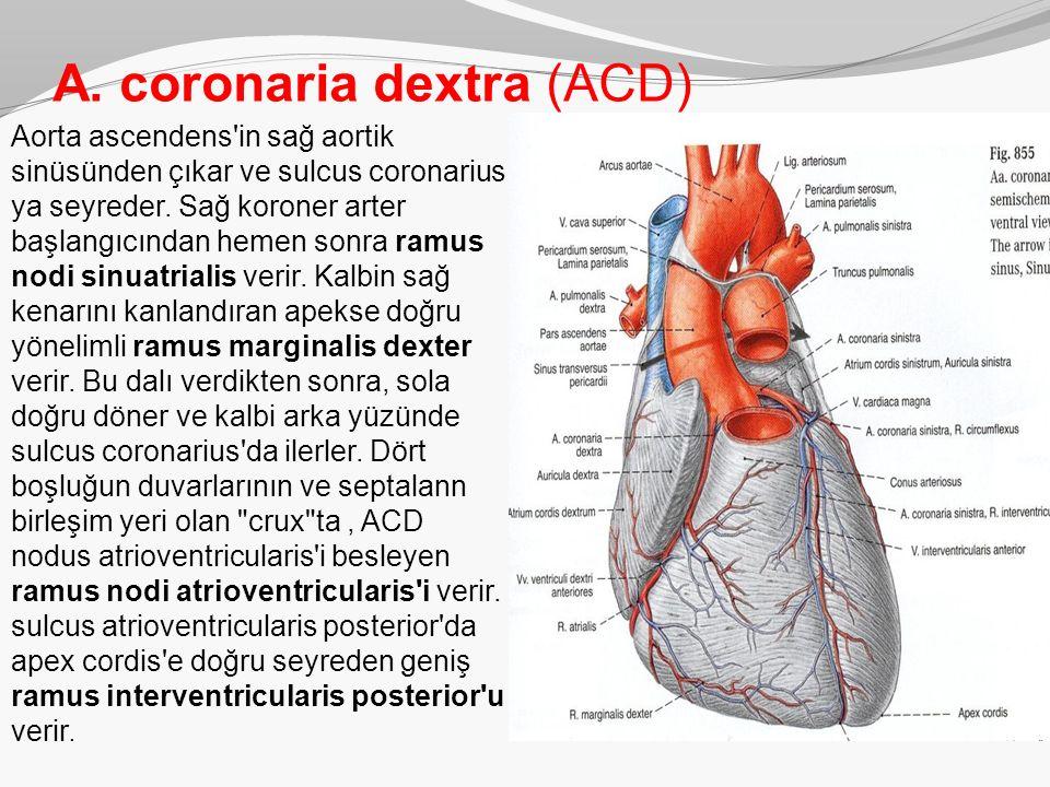 A. coronaria dextra (ACD) Aorta ascendens'in sağ aortik sinüsünden çıkar ve sulcus coronarius ya seyreder. Sağ koroner arter başlangıcından hemen so