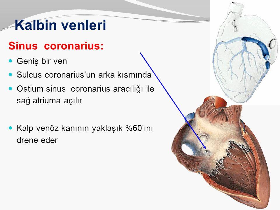 Kalbin venleri Sinus coronarius: Geniş bir ven Sulcus coronarius'un arka kısmında Ostium sinus coronarius aracılığı ile sağ atriuma açılır Kalp venöz