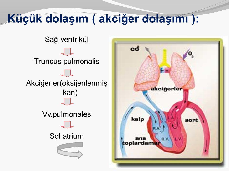 Küçük dolaşım ( akciğer dolaşımı ): Sağ ventrikül Truncus pulmonalis Akciğerler(oksijenlenmiş kan) Vv.pulmonales Sol atrium
