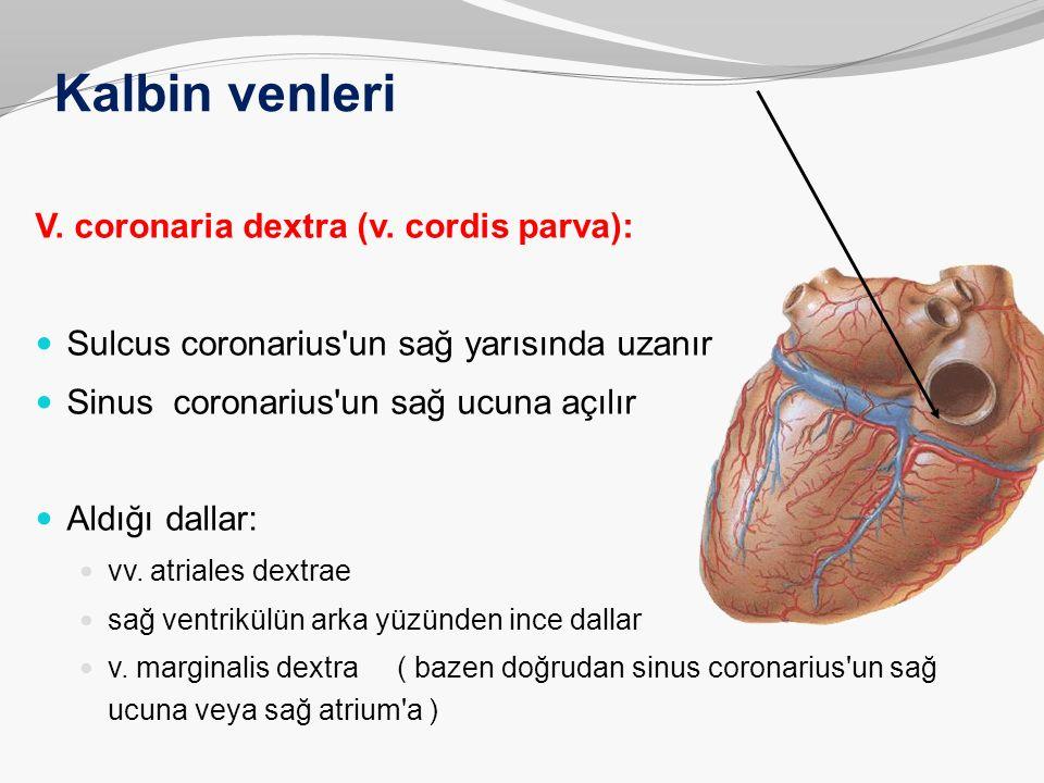 Kalbin venleri V. coronaria dextra (v. cordis parva): Sulcus coronarius'un sağ yarısında uzanır Sinus coronarius'un sağ ucuna açılır Aldığı dallar: vv