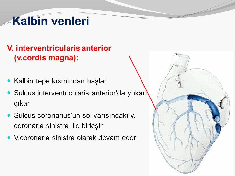 Kalbin venleri V. interventricularis anterior (v.cordis magna): Kalbin tepe kısmından başlar Sulcus interventricularis anterior'da yukarı çıkar Sulcus