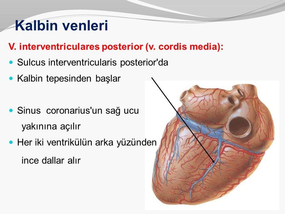 Kalbin venleri V. interventriculares posterior (v. cordis media): Sulcus interventricularis posterior'da Kalbin tepesinden başlar Sinus coronarius'un