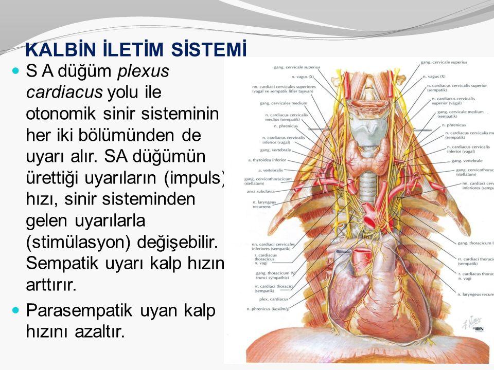 KALBİN İLETİM SİSTEMİ S A düğüm plexus cardiacus yolu ile otonomik sinir sisteminin her iki bölümünden de uyarı alır. SA düğümün ürettiği uyarıların (